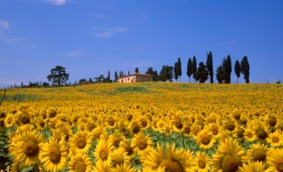 Sunflowers of Tuscany