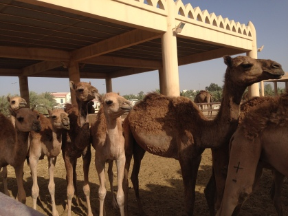 Some camels....