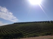Vineyards in Stellenbosch